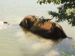 Devout Wild Elephant Bathing