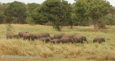 Photo: Wild Elephants near Trincomalee.